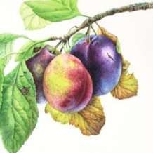 Orchard-fruits-in-watercolour-1534928901